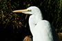 Great Egret (non-breeding)