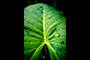 Jesus Plant