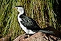 Little Pied Cormorant 2